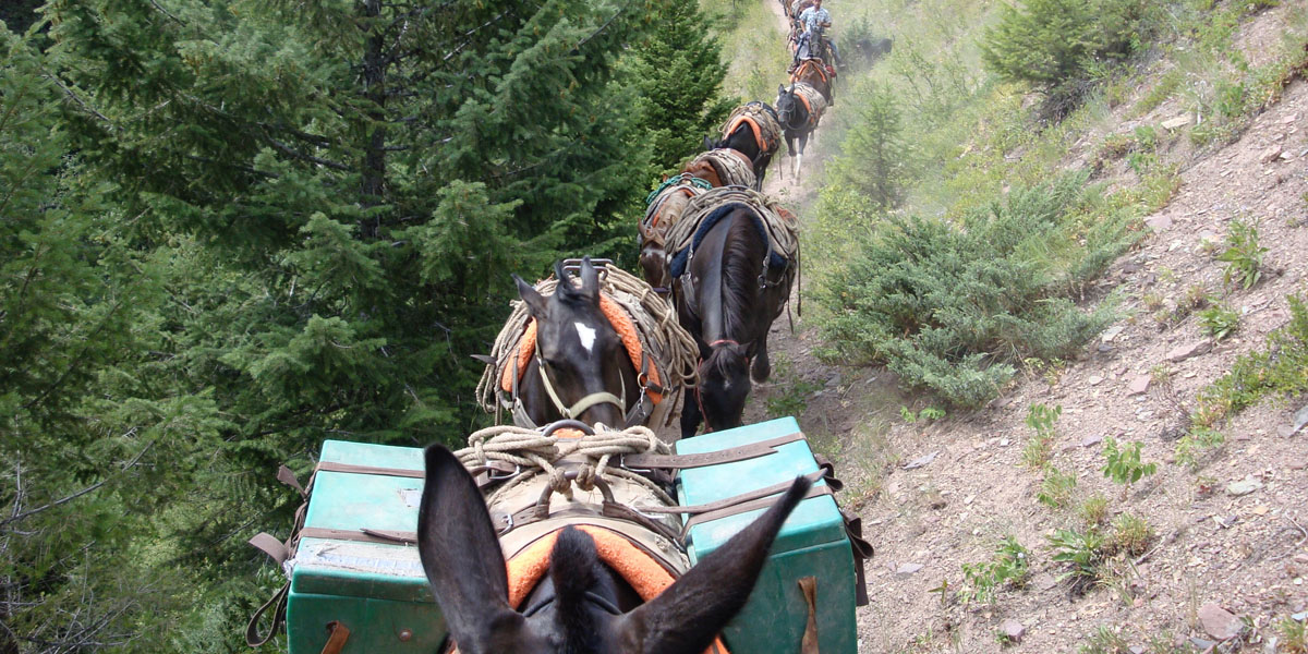pack string of mules walking down trail
